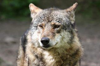 Leśnictwo Sikorzyno: widziano wilka