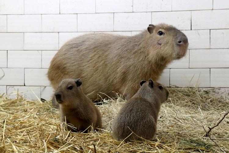 Kapibary z oliwskiego zoo