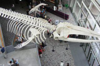 Szkielet wieloryba ze Stralsundu znajdzie się na Wydziale Biologii Uniwersytetu Gdańskiego