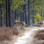 Wilki na Kaszubach: kilka sztuk w kościerskich lasach  [ZDJĘCIA]
