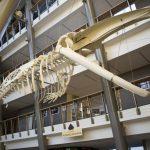 Szkielet wieloryba ze Stralsundu na Wydziale Biologii Uniwersytetu Gdańskiego [ZDJĘCIA]