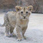 Casa, tak nazywa się nowo narodzona lwica w gdańskim zoo