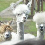 Spotkaj się ze zdrową żywnością i alpakami na Targach Kocham Wieś!