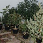 Zarzuty posiadania i uprawy marihuany